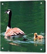 Geese Family Acrylic Print