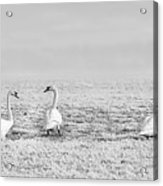 Geese Surrounded By Hoarfrost Acrylic Print