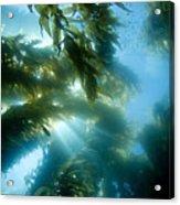 Giant Kelp Forest Acrylic Print
