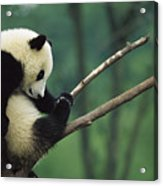 Giant Panda Ailuropoda Melanoleuca Year Acrylic Print