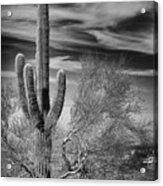 Giant Saguaro Acrylic Print