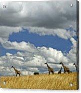 Giraffes On The Horizon Acrylic Print
