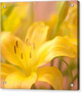 Glorious Lilies Acrylic Print