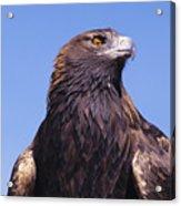 Golden Eagle Acrylic Print