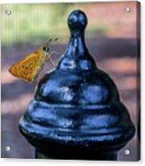 Golden Moth Acrylic Print