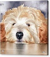 Goldendoodle  Acrylic Print