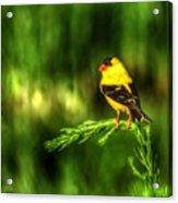 Goldfinch On Grass Acrylic Print