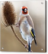 Goldfinch On Teasle Acrylic Print