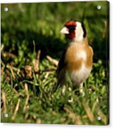 Goldfinch Spring Acrylic Print