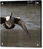 Goose In Flight Acrylic Print