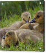 Goslings Acrylic Print