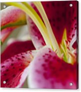 Graceful Lily Series 18 Acrylic Print