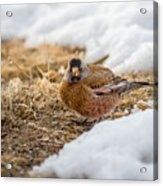 Gray Capped Rosy Finch In The Snow Acrylic Print