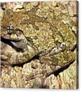 Gray Tree Frog Acrylic Print