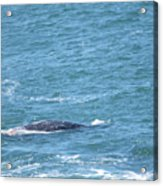Gray Whale Acrylic Print