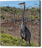 Great Blue Heron - 12 Acrylic Print