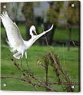 Great Egret Prepared For Landing Acrylic Print