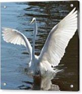 Great Egret Wings Acrylic Print