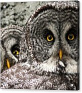 Great Grey Wake Up Acrylic Print