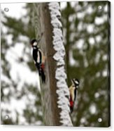Great Spotted Woodpeckers Acrylic Print