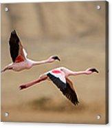 Greater Flamingos Phoenicopterus Roseus Acrylic Print