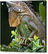 Green Iguana Iguana Iguana, Sarapiqui Acrylic Print