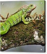 Green Iguana Iguana Iguana, Tarcoles Acrylic Print