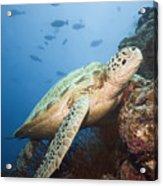 Green Turtle Underwater  Acrylic Print