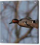 Green-winged Teal Flies Over Acrylic Print
