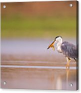 Grey Heron Ardea Cinerea Acrylic Print