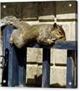 Grey Squirrel Acrylic Print