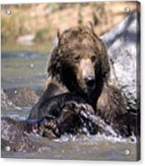Grizzly Bear Plays In Water Acrylic Print