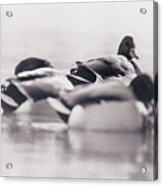 Group Of Ducks Acrylic Print
