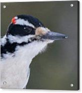 Hairy Woodpecker Male Acrylic Print