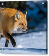 Handsome Mr. Fox Acrylic Print