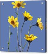 Happy Daisies II Acrylic Print
