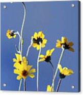 Happy Daisies Acrylic Print