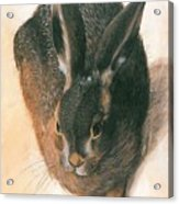 Hare 1528  Acrylic Print