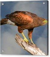 Harris's Hawk On Watch Acrylic Print