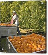 Harvesting Navel Oranges Acrylic Print