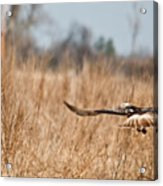 Hawk Soaring Over Field Acrylic Print
