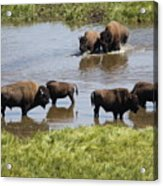 Hayden Valley Bison Acrylic Print
