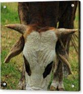 Head Of A Bull Acrylic Print