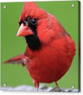 Hello Cardinal Acrylic Print