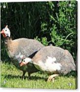 Helmeted Guineafowl Acrylic Print