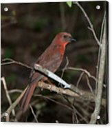 Hepatic Tanager At The Coba Ruins Acrylic Print
