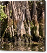 Heron And Cypress Knees Acrylic Print
