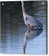 Heron Reflection Acrylic Print