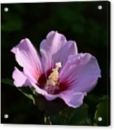Hibiscus Light Acrylic Print