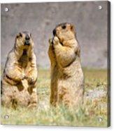 Himalayan Marmots Pair Standing In Open Grassland Ladakh India Acrylic Print